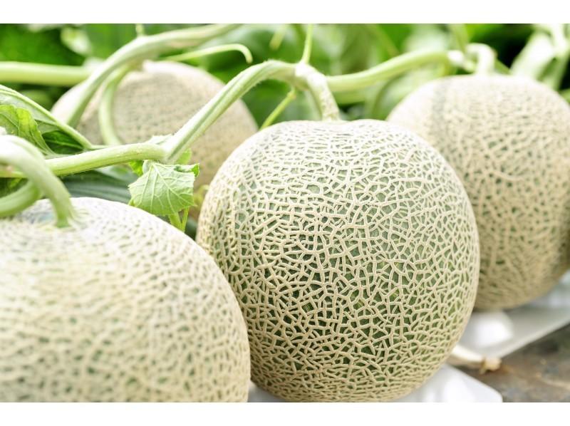 Yubari Melon เมลอน ยูบาริ เมลอนสีทอง เมลอนสายพันธุ์ชื่อดังจากเกาะฮอกไกโด ประเทศญี่ปุ่น